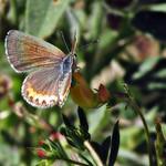 Acmon blue ♀ on Spanish lotus thumbnail
