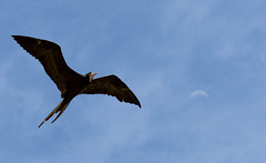 Magnificent Frigatebird (Kremlken) Tags: pr birds birding neotropical frigatebirds nikon500 coastal seabirds