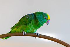 Parrot (X86_3724-1) (Eric SF) Tags: kaanapalibeach lahaina maui hawaii parrot parakeet