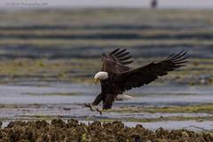 Eagle Landing III (elliott845) Tags: baldeagle eagle haliaeetusleucocephalus nature raptor predator birdinflight