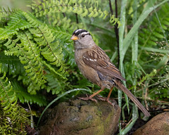 White-crowned Sparrow (dennis_plank_nature_photography) Tags: avianphotography thurstoncounty whitecrownedsparrow birdphotography naturephotography wa avian backyard birds blind copse flowers home littlerock nature