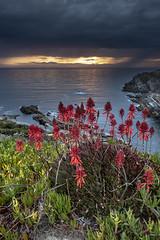 Between the rains (Sizun Eye) Tags: coast rain heavyclouds ocean light sunlight sunset flower portugal zambujeiradomar atlantic coastline sizuneye nikond750 nikkor nikon1424mmf28