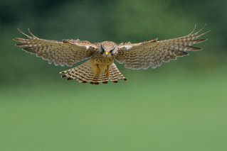 Kestrel Falco tinnunculus - Female