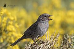 Acentor común (Prunella modularis) (jsnchezyage) Tags: acentorcomún prunellamodularis ave bird birding birdwatching ornithology beak feather dunnock hedgeaccentor hedgesparrow ngc npc