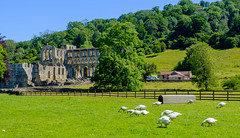 Rievaulx (alh1) Tags: clevelandway northyorkshire rievaulxabbey england rievaulx ryedale geese