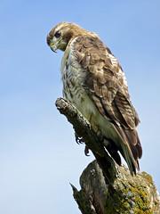Fierce (Meryl Raddatz) Tags: nature bird hawk summer sky canon