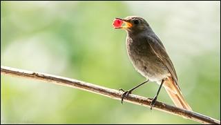 Rougequeue noir / Black Redstart