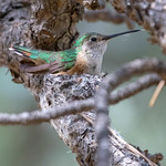 Broad-tailed Hummingbird thumbnail