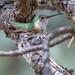 Broad-tailed Hummingbird (Joseph Zeno) Tags: colorado