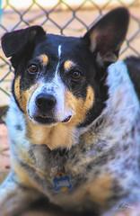 Lady Libby (Vanessa wuz Here) Tags: 7dwf dog brampton ontario backyard summer vacation 100mm