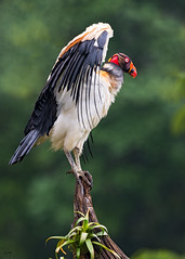 king vulture (Christian Sanchez Photography) Tags: vulture kingvulture costaricavulture vultureblack neotropicalbirds neotropical nature naturaleza nationalgepgraphic nationalparkusa neotropic nikond4s nikond4 neotropicalbird wildlife waterbirds wildanimal wildshake wildphoto woodpecker wildfrog wild warbler africabirds aves avescostarica africa amphiabians birdsofcostarica birdsfly birds birdsecuador birdsofecuador birdsafrica brazilanimal birdsbirdsofcostarica brazil birdsofsouthafrica