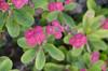 Quadralectic flower (Arne Kuilman) Tags: batanes basco philippines island travel holiday filipijnnen flower flowers bloemen quadralectic quadralectisch pink