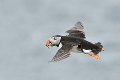 Puffin look back (adbecks) Tags: puffin nikon d500 300pf lens review uk wildlife birds flight