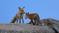 Fox & Kit (Bill G Moore) Tags: fox kit animal wildlife colorado canon mother baby family rocks sky