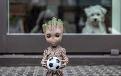 wanna play? (Dotsy McCurly) Tags: canoneos80d efs35mmf28macroisstm babygroot arttoy guardiansofthegalaxy bunny cute dog puppy maltese yard stoop nj newjersey soccerball football smileonsaturday footballfever