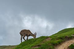 Niederhorn/Schweiz 18.6.2018 (karlheinz klingbeil) Tags: suisse alpensteinbock alpineibex ibex swissalps schweiz alps animal switzerland berge tier steinbock wolken alpen mountain beatenberg bern ch