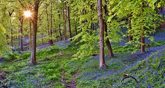 Graig Fawr Woods, Margam (Paula J James) Tags: wales trees southwales 2018 southeastwales welsh leaves may2018 bluebells woods bluebell sun sunburst graigfawr graigfawrwoods margam neathporttalbot walescoastpath woodlandtrust