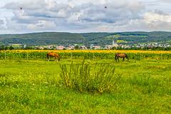 Horses in the pasture (a7m2) Tags: pferde horses stmargarethen rust neusiedlersee burgenland austria travel tourismus radfahren wandern