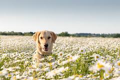 Bliss (isabel.monita) Tags: fresco flowers dream canon6dmarkll daisies daisy bliss joy fields happiness love dog