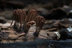 Funky Fungi - 052618-082528 (Glenn Anderson.) Tags: macro closeup nikon outdoor spores forest nature wood woodrot bokeh natural cap fungi fungus waynesboroughpark