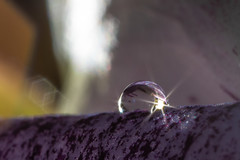 Sweet Pea Sunburst (Pittypomm) Tags: 2018p52 week27 sunburst macro close up flower sweet pea purple white flare lens sparkles water drop droplet