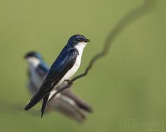 Birds on a Wire (T L Sepkovic) Tags: treeswallows swallows blue birdsonawire canon teamcanon 5dmkiv wildlifephotography audubon conservepa