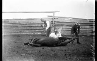 Cattle Branding - Little Bow Cattle Co. Ranch