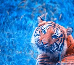 Tiger Blues (zenseas) Tags: pantheratigrisjacksoni phinneyridge tiger wpz seattle pantheratigris summer woodlandparkzoo malayantiger washington painting blue blues eyecontact