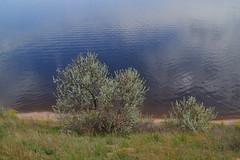 Elaeagnus commutata (МирославСтаменов) Tags: russia togliatti volga elaeagnus shrub river slope