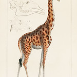 Camelopardis Giraffe - The Giraffe (1837) by Georges Cuvier (1769-1832), an illustration of a beautiful giraffe and sketches of its skull. Digitally enhanced from our own original plate. thumbnail