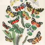 Illustrations from the book European Butterflies and Moths by William Forsell Kirby (1882), a kaleidoscope of fluttering butterflies and caterpillars. Digitally enhanced from our own original plate. thumbnail
