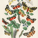 Illustrations from the book European Butterflies and Moths by William Forsell Kirby (1882), a kaleidoscope of fluttering butterflies and caterpillars. Digitally enhanced from our own original plate.