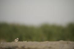 Little Plover (Khurram Khan...) Tags: pipingplover plover endangered conservation shorebirds wildlife wildlifephotography wild wwwkhurramkhanphotocom iamnikon nikonnofilter naturephotos naturephotography khurramkhan