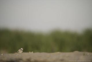 Little Plover