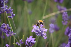 Photo of Bee on Lavender