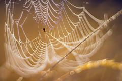 Welcome to the golden hour. (look to see) Tags: spinnewen spiderweb bokeh goldenhour mood sunrise mariahof beek bree belgium vintagelens 2018