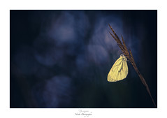 The Wild Gold (Naska Photographie) Tags: naska macro macrophotographie macrophoto minimaliste minimalisme monochrome photographie photo photographe paysage proxy proxyphoto papillon proxi proxiphoto butterfly butterflie nature sauvage composition color couleur blue bleu dream bokeh flare extérieur jaune yellow matin