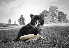 The Kitten And The Feather (FlorDeOro) Tags: nikond90 16300mm photography kitten feather bw bokeh gotland sweden mijarajc