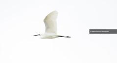 Aigrette Garzette (9) - Egretta garzetta (serguei_30) Tags: art artiste artcomptemporain sergueidoublov romandoublet photographefrançais perfect nature natura birds bird oiseau oiseaux ornithologie ornitho observation canon canon7d 7dkii canon7dkii canon400mm28