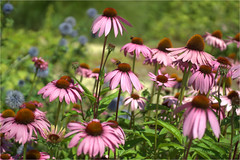 echinacea......... (atsjebosma) Tags: bee bloem tuin bij atsjebosma countryestatenienoord landgoednienoord leek groningen thenetherlands summer july juli zomer 2018