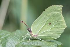 Brimstone (Adam Rawson) Tags: brimstone butterfly camouflage fe100400gm sonya6300