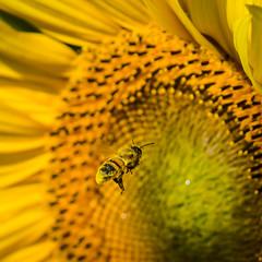 L'invitée (alexiscrozier1) Tags: tournesol abeille jaune sunflower flower nature nikon amateur passion photo serie photographique projet photographe macro