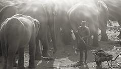 Pinnawala Elephant Orphanage (Nithi clicks) Tags: asia colour elephant elevated nature