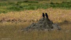 2017.06.25.3389 Ravens (Brunswick Forge) Tags: grouped 2017 africa safari tanzania bird birds animal animals animalportraits nature wildlife favorited