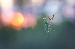 Perfect evening (donlope1) Tags: macro nature light sunset sun bokeh empuse mantis insect wild wildlife spring proxy