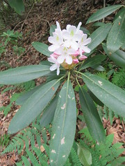 Rhododendron flower (g.s.springer) Tags: west virginia wv greenbrier county blue bend national forest bluebend hike trail monongahela