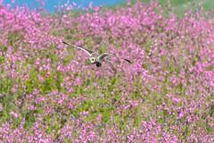 Lucky Owl - Unlucky Vole! (warren hanratty) Tags: wildbird skomer wildlife owl seo nature bird shortearedowl skomervole pembrokeshire skomerisland
