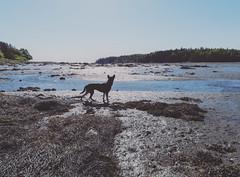 Low Tide Seagull Hunter... - Tenants Harbor Maine (Jonmikel & Kat-YSNP) Tags: maine tenantsharbor me stgeorge lowtide harbor ocean water summer dog wet seaweed