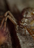 Philodromus aureolus  crab spider (markhortonphotography) Tags: nature surrey deepcut philodromus philodromusaureolus macro masonbee bee spider wildlife surreyheath nest runningcrabspider arachnid beehotel predator invertebrate