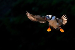 Incoming puffin... (Gary Neville) Tags: 2018 skomerisland puffin bif birdinflight sony sonyrx10iv rx10m4 rx10iv m4 garyneville